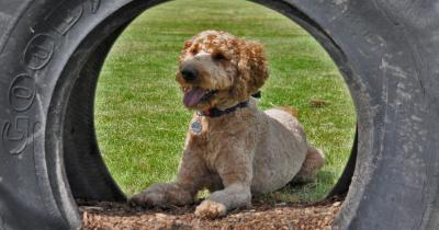Dog laying in tyre at York Dog Park
